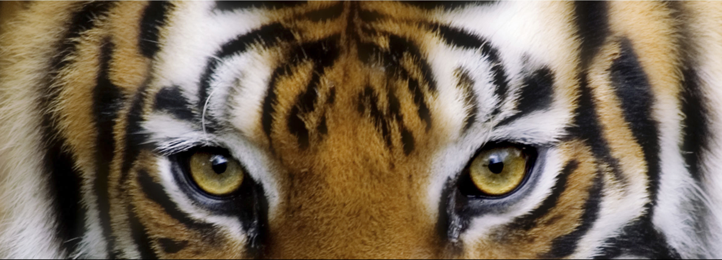 Close-up-of-tigers-face-India-shutterstock_13163569