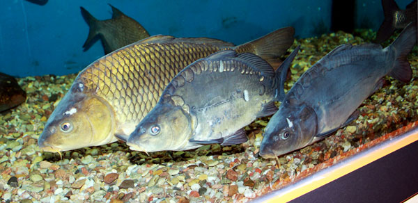 bottenfisk